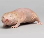 这种难看的动物,将为人类找到长寿之道?