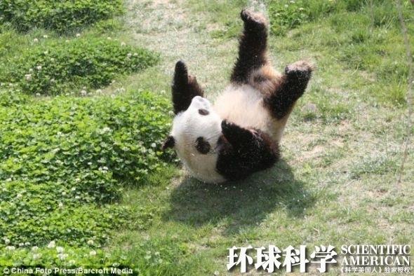 对于胖嘟嘟的大熊猫来说